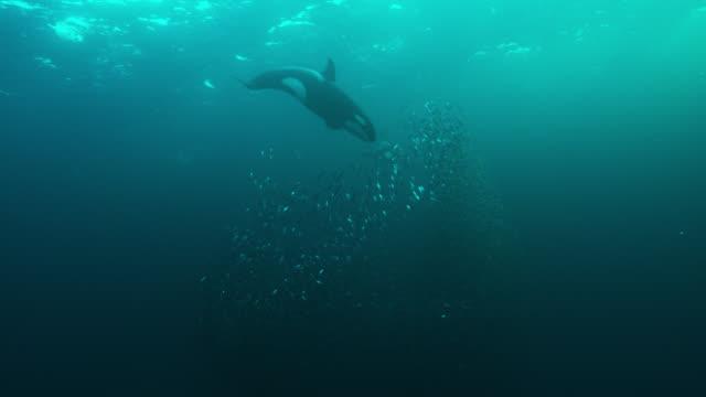 killer whales herd herring into bait ball, norway - tiere bei der jagd stock-videos und b-roll-filmmaterial