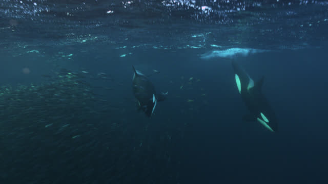 killer whales herd herring into bait ball, norway - pod group of animals stock videos & royalty-free footage