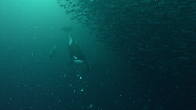 killer whales herd herring into bait ball, norway - bait ball stock videos & royalty-free footage