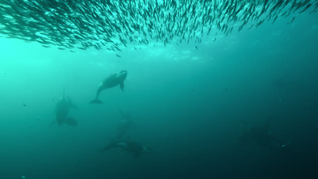killer whales herd herring into bait ball, norway - jagd stock-videos und b-roll-filmmaterial