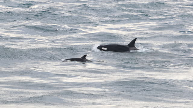 killer whales in eclipse sound, canada - pod group of animals stock videos & royalty-free footage