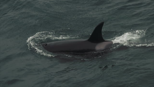 killer whales in the north sea - dolphin stock videos & royalty-free footage