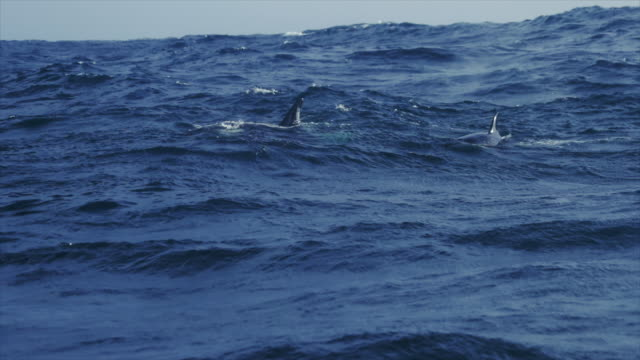 killer whales in the norwegian sea - animal fin stock videos & royalty-free footage