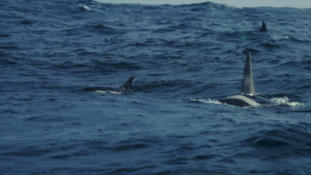 killer whales in the norwegian sea - killer whale stock videos and b-roll footage