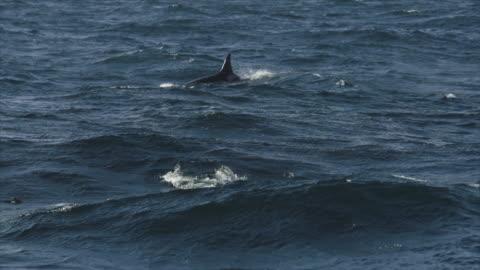 stockvideo's en b-roll-footage met orka's in de noorse zee - dolfijn
