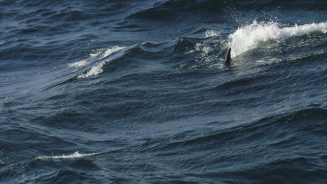 killer whales in the norwegian sea - killer whale stock videos & royalty-free footage