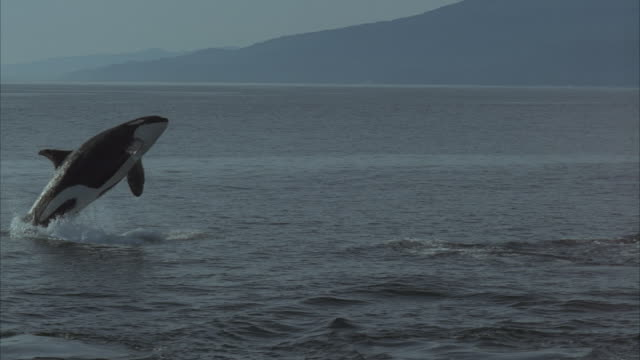 slo mo, ms, killer whales jumping and swimming in ocean - killer whale stock videos and b-roll footage