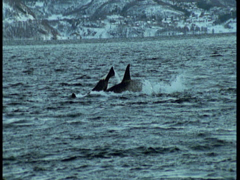 killer whales lobtail and dive in choppy water near norway. - rückenflosse stock-videos und b-roll-filmmaterial