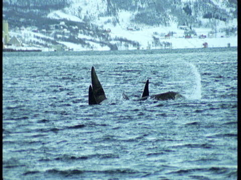 killer whales lobtail and dive off the coast of norway. - rückenflosse stock-videos und b-roll-filmmaterial