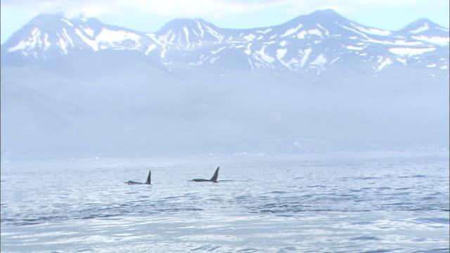 stockvideo's en b-roll-footage met killer whales of rausu - rugvin