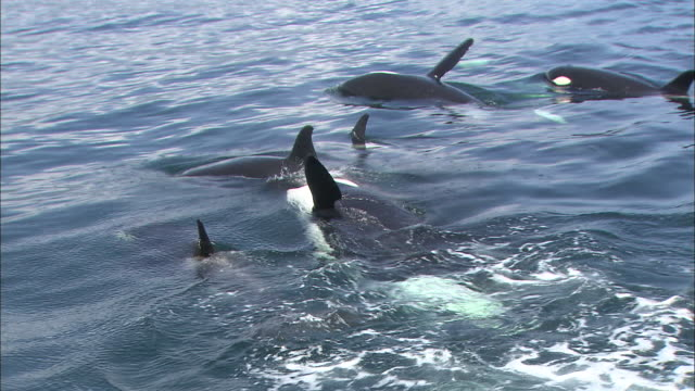 Killer Whales of Rausu
