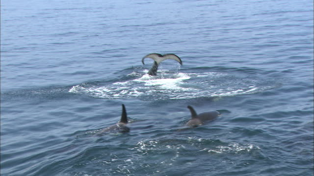killer whales of rausu - lobtailing stock videos and b-roll footage