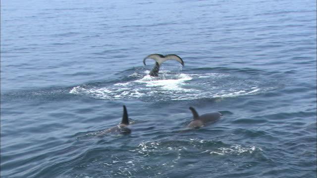 Killer Whales of Rausu