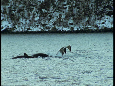 killer whales porpoise and lobtail in choppy water near the coast of norway. - lobtailing stock videos & royalty-free footage