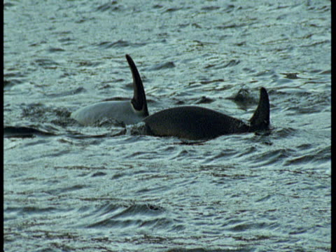 killer whales porpoise in choppy water near norway. - rückenflosse stock-videos und b-roll-filmmaterial