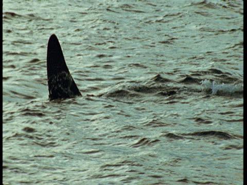 killer whales porpoise in choppy water near norway. - rückenflosse stock-videos und b-roll-filmmaterial