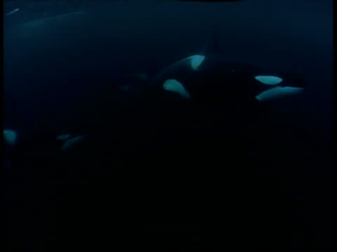 Killer whales skim the surface of the water.