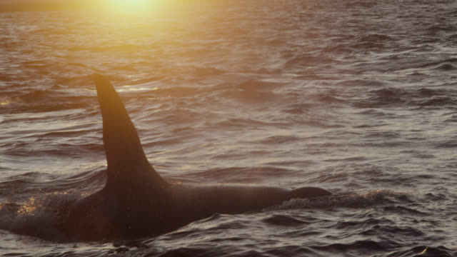 killer whales surface and spout at sunset, norway - ハナゴンドウ点の映像素材/bロール