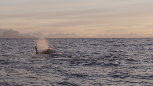 killer whales surface and spout in sea, norway - cetacea stock videos & royalty-free footage