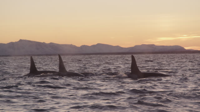 killer whales surface and spout in sea, norway - killer whale stock videos & royalty-free footage