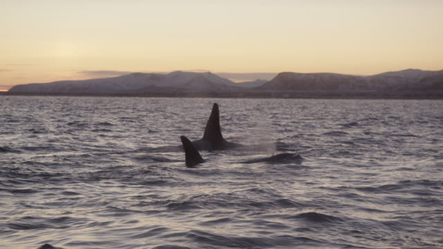 killer whales surface and spout in sea, norway - rückenflosse stock-videos und b-roll-filmmaterial