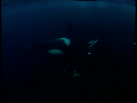 stockvideo's en b-roll-footage met killer whales swim near the surface of the where they feed on herring. - orka