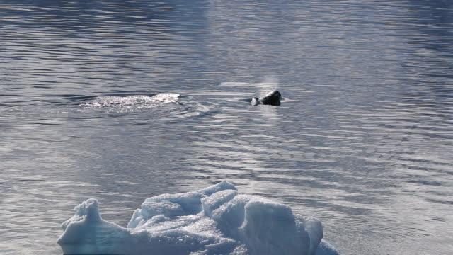 killer whales swimming past iceberg in antarctica - orca video stock e b–roll