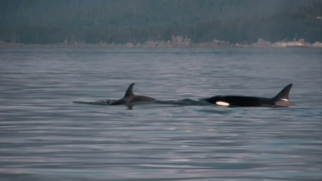 killer whales - killer whale stock videos & royalty-free footage