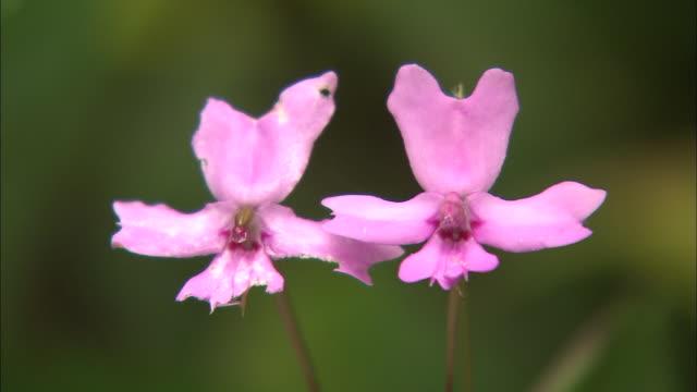 kinabalu balsam in malaysia   - malaysia stock videos & royalty-free footage