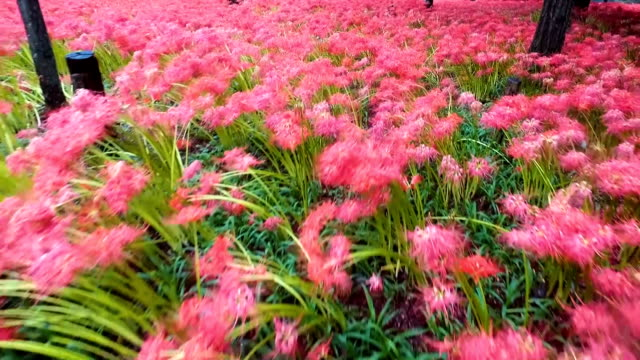 kinchakudamanjushage park surrounded by the snaking komagawa river in hidaka saitama prefecture has become a lush crimson carpet as about 5 million... - saitama prefecture stock videos & royalty-free footage