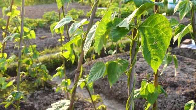 kindney bean grow in summer - runner bean stock videos & royalty-free footage