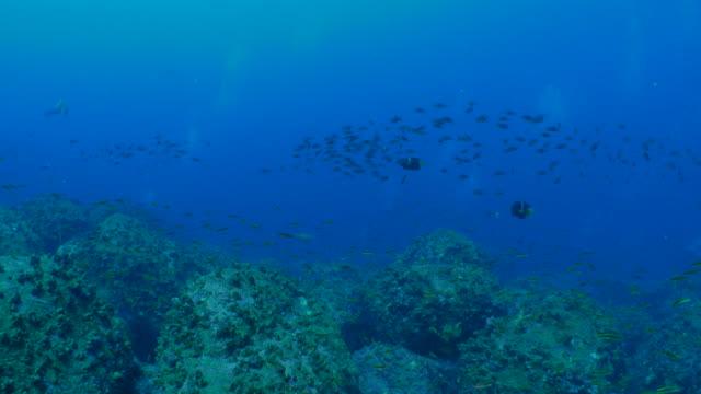 King angelfish, damselfish schooling at undersea reef