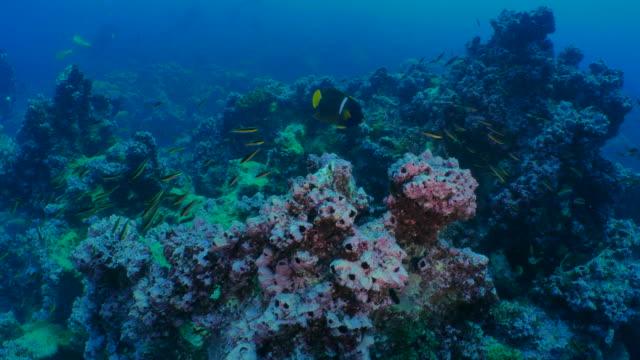 ダーウィン島、ガラパゴスのサンゴ礁で泳ぐ王エンゼルフィッシュ - エンゼルフィッシュ点の映像素材/bロール