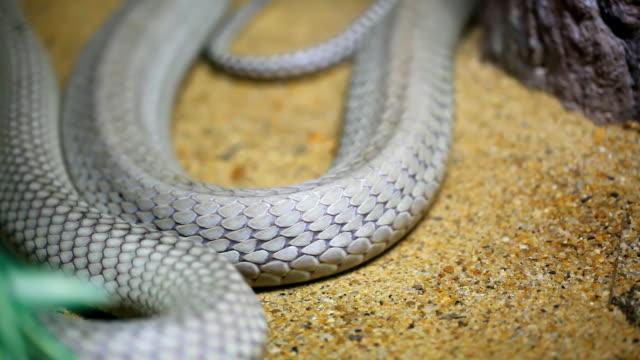 vídeos de stock e filmes b-roll de cobra-real slither - réptil