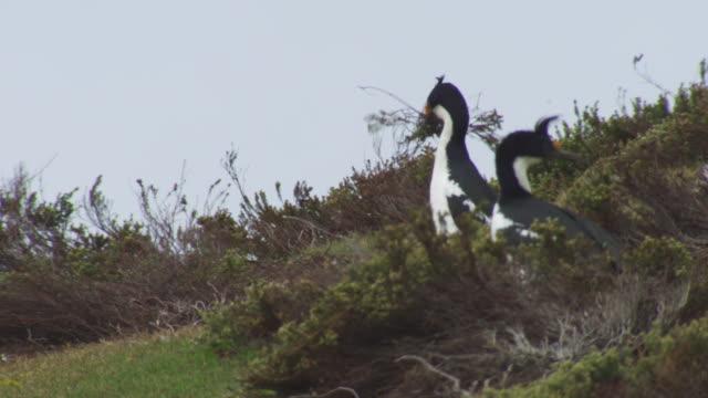 stockvideo's en b-roll-footage met cu king cormorant on slope with huge amount of nesting material in its beak picks up even more - vier dieren