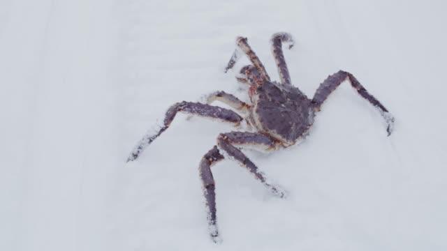 雪の中をクロール ms 本タラバかに - カニ捕り点の映像素材/bロール