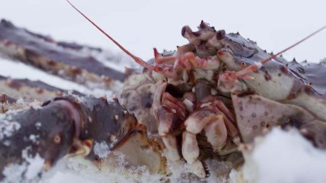 雪の中をクロール ecu 本タラバかに - カニ捕り点の映像素材/bロール