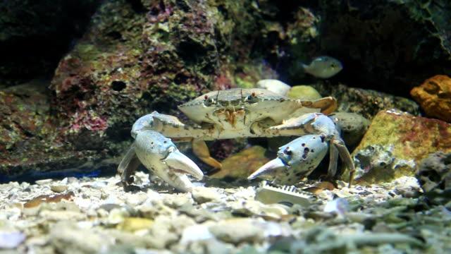 krabben geht mit king-size-bett - tierisches exoskelett stock-videos und b-roll-filmmaterial