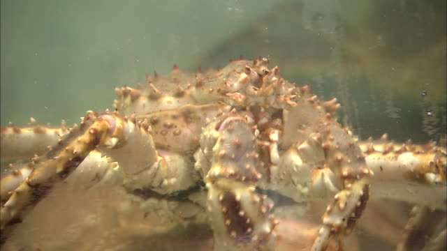 stockvideo's en b-roll-footage met king crabs move in a containment tank. - middelgrote groep dingen