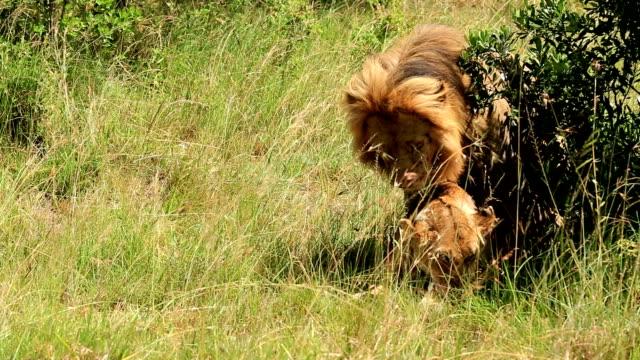 vídeos y material grabado en eventos de stock de león con cama king - apareamiento