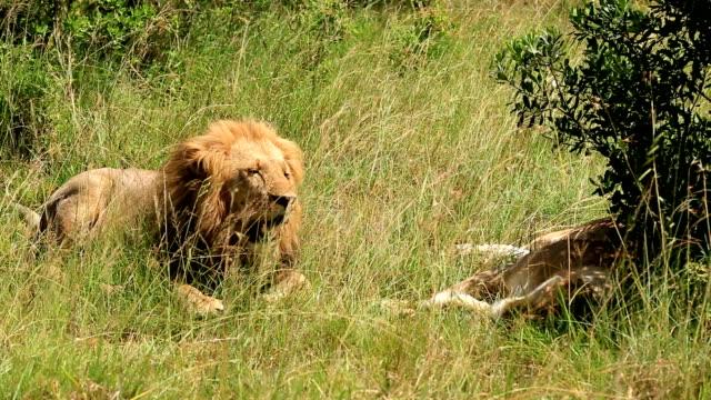 vídeos de stock, filmes e b-roll de lion king - female animal