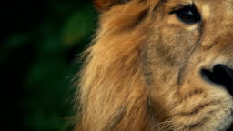 King Of The Jungle Lion Looks Up