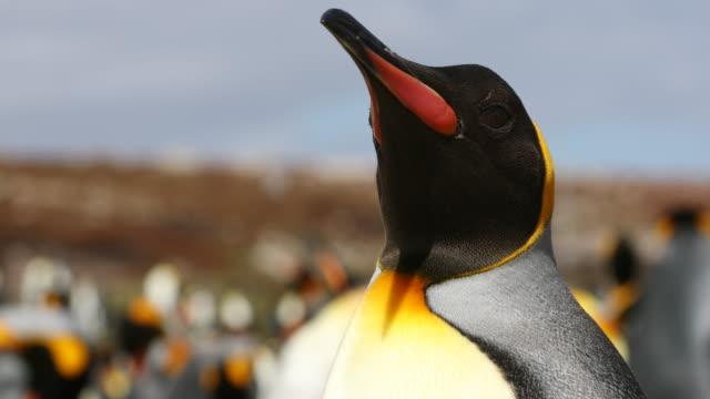vídeos y material grabado en eventos de stock de king penguin against large colony - pingüino cara blanca