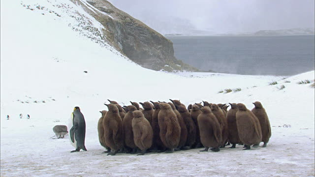king penguin and chicks - royal penguin stock videos & royalty-free footage