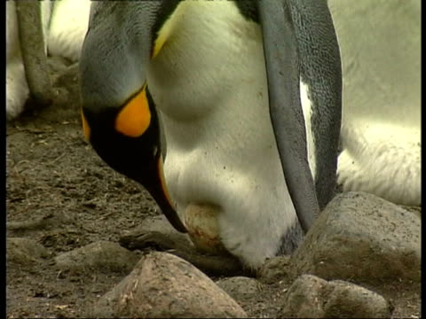 cu king penguin, aptenodytes patagonicus, checking egg on feet, antarctica - 南極点点の映像素材/bロール