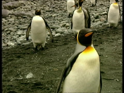 cu king penguin, aptenodytes patagonicus, waddling up to camera, antarctica - south pole stock videos & royalty-free footage