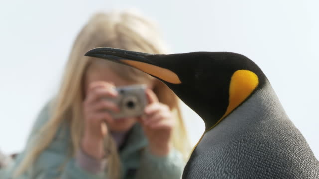 CU King Penguin Aptenodytes patagonicus with child taking photo from behind / Volunteer Point, Falkland Islands