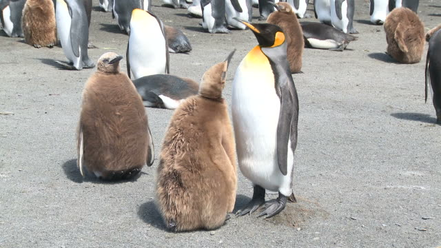 king penguin (aptenodytes patagonicus) chick begs and adult feeds. gold harbour. south georgia - young bird stock videos & royalty-free footage