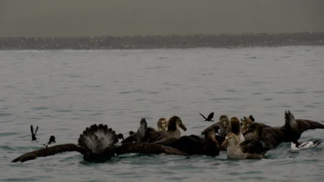 vídeos y material grabado en eventos de stock de polluelo de pingüino rey comido vivo por un grupo de petreles gigantes - pingüino cara blanca