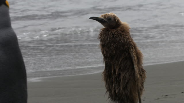 cu, pan, king penguin chick walking on beach, south georgia island - antarctic ocean stock videos and b-roll footage